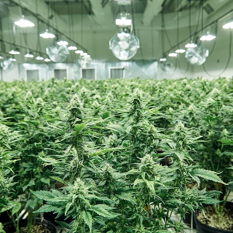 Cannabis Innovation | Aleafia Health